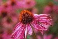 Echinacea purpurea, Echinacea, Purple coneflower 20026006034| 写真素材・ストックフォト・画像・イラスト素材|アマナイメージズ