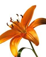 Lilium, Lily