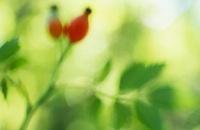 Rosa canina, Rosehip 20026006064| 写真素材・ストックフォト・画像・イラスト素材|アマナイメージズ