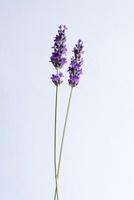Lavandula augustifolia, Lavender 20026006069| 写真素材・ストックフォト・画像・イラスト素材|アマナイメージズ