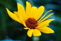 Helianthus salicifolius, Sunflower