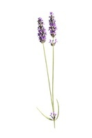 Lavandula augustifolia, Lavender 20026006073| 写真素材・ストックフォト・画像・イラスト素材|アマナイメージズ