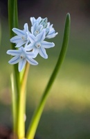 Puschkinia scilloides, Squill