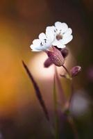 Silene latifolia, Campion, white