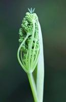 Foeniculum vulgare, Fennel