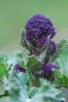 Brassica oleracea botrytis italica Purple sprouting broccoli