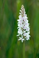 Dactylorhiza maculata, Orchid, Heath spotted orchid