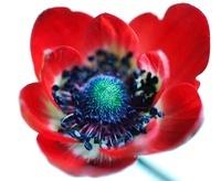 Anemone coronaria 'De Caen', Anemone
