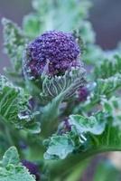 Brassica oleracea botrytis italica Purple sprouting broccoli