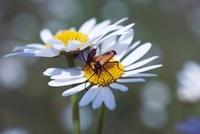 Leucanthemum vulgare, Daisy, Ox-eye daisy