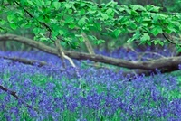 Hyacinthoides non-scripta, Bluebell wood
