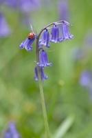 Hyacinthoides non-scripta, Bluebell, English bluebell