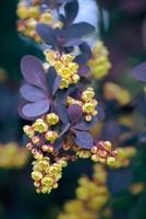 Berberis thunbergii atropurpurea, Barberry