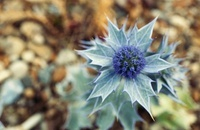 Eryngium maritimum, Sea holly