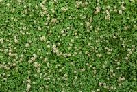 Trifolium repens, Clover, white clover