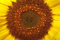 Helianthus annuus 'Russian Giant', Sunflower