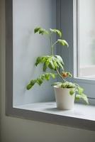 Lycopersicon esculentum 'Gardeners Delight', Tomato