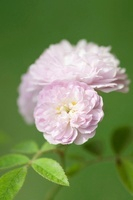 Rosa damascena, Rose, Damask rose