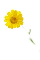 Anthemis tinctoria, Yellow chamomile 20026006189| 写真素材・ストックフォト・画像・イラスト素材|アマナイメージズ