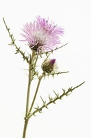 Galatities tormetosa, Thistle, Boar thistle