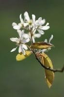 Amelanchier lamarckii, Snowy mespilus