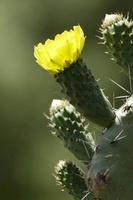 Opuntia robusta, Cactus, wheel cactus