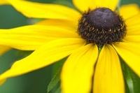 Rudbeckia hirta, Coneflower, black-eyed Susan 20026006211| 写真素材・ストックフォト・画像・イラスト素材|アマナイメージズ
