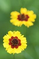 Coreopsis tinctoria, Coreopsis