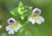 Euphrasia officinalis, Eyebright