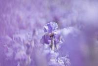 Iris germanica, Iris, Bearded iris