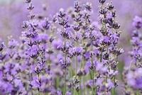 Lavandula augustifolia, Lavender 20026006266| 写真素材・ストックフォト・画像・イラスト素材|アマナイメージズ
