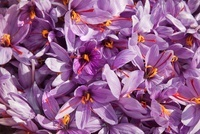 Crocus sativus, Crocus, Saffron crocus
