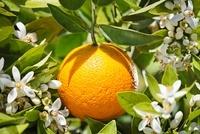 Citrus sinensis, Orange