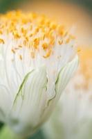 Haemanthus albiflos, Paintbrush
