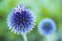 Echinops bannaticus, Globe thistle, Blue subject, Green back