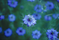 Nigella damascena, Love-in-a-mist, Blue subject.