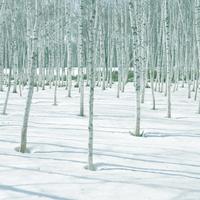 白樺の林 20027000946| 写真素材・ストックフォト・画像・イラスト素材|アマナイメージズ