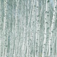 白樺の林 20027000947| 写真素材・ストックフォト・画像・イラスト素材|アマナイメージズ