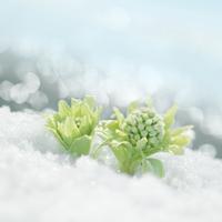 雪から顔を出すフキノトウ