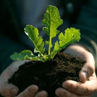 手の上の大根の芽
