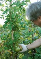 菜園で収穫する中高年男性 20027001454| 写真素材・ストックフォト・画像・イラスト素材|アマナイメージズ