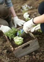 花の苗を植える2人の女性の手元