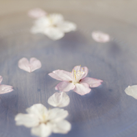 水に浮かべた桜