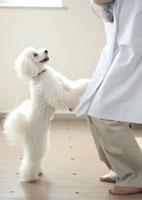 動物病院で獣医にじゃれつく白い子犬