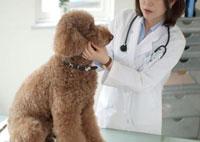 動物病院で大型犬を診察する女獣医