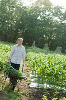 農園で採れた野菜を一輪車で運ぶシニア男性