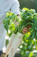 農園で採れたての大根を持つシニア男性の手元