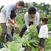 農園でキャベツを収穫する4人家族 20027005533| 写真素材・ストックフォト・画像・イラスト素材|アマナイメージズ