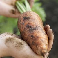 農園で収穫した土付きの人参 20027005578| 写真素材・ストックフォト・画像・イラスト素材|アマナイメージズ