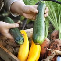 カゴの中に入った収穫した野菜とズッキーニを持つ女性の手元 20027005579| 写真素材・ストックフォト・画像・イラスト素材|アマナイメージズ